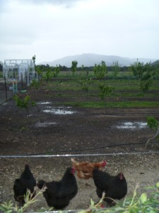 Chickens at Margan