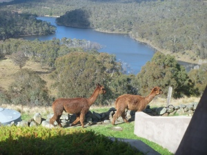Alpacas strolling by