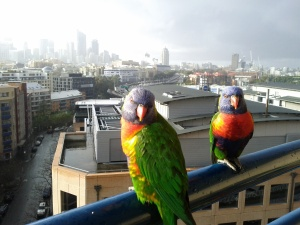 Another pair of lorikeets