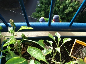 Lorikeets looking mischevious