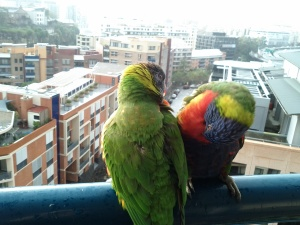 Pair of lorikeets (love birds)