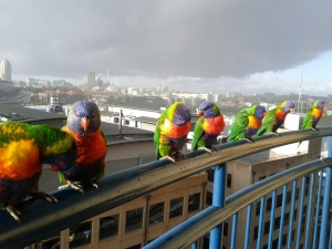 Group of lorikeets